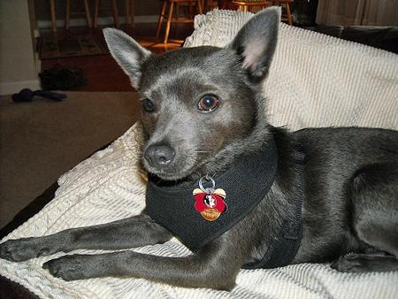 Dexter the Schipperke Pictures 990079