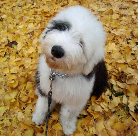 Dignan the Old English Sheepdog Pictures 1056039