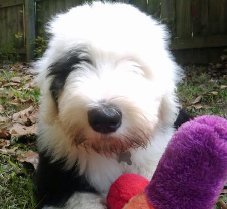 Dignan the Old English Sheepdog Pictures 1056041