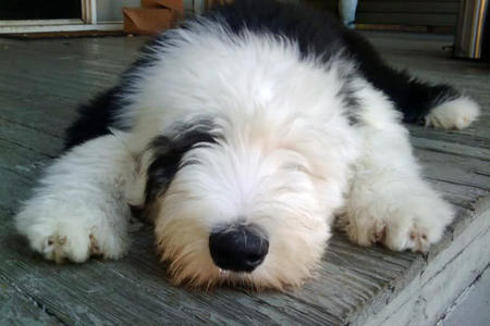 Dignan the Old English Sheepdog Pictures 1056042