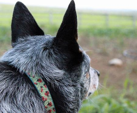 Dingo the Australian Blue Heeler Pictures 660941