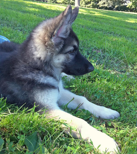 Doc the Shiloh Shepherd Pictures 667462