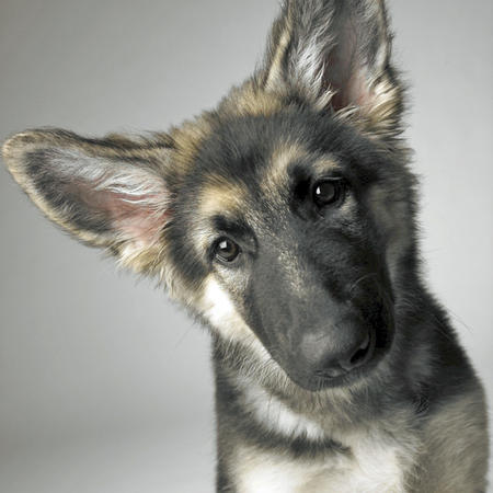 Doc the Shiloh Shepherd Pictures 667458