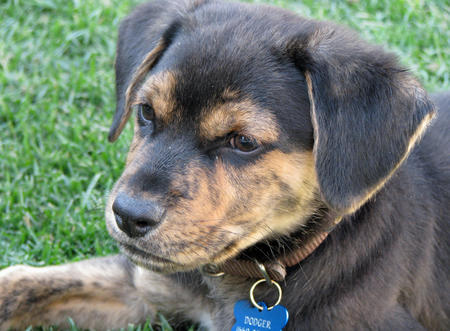 Dodger the Mixed Breed Pictures 477713