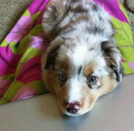 Dolly the Australian Shepherd Pictures 1055555