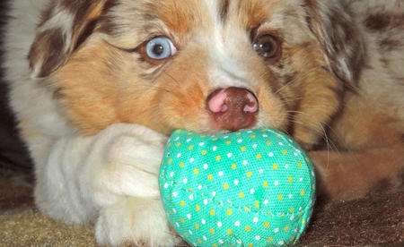 Dolly the Australian Shepherd Pictures 1055556