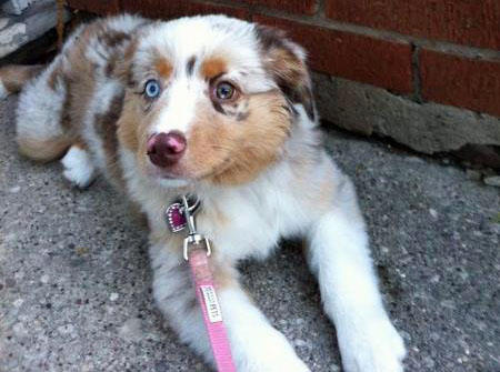 Dolly the Australian Shepherd Pictures 1055558