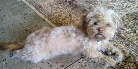 Donut the Lhasa Apso Pictures 1034585