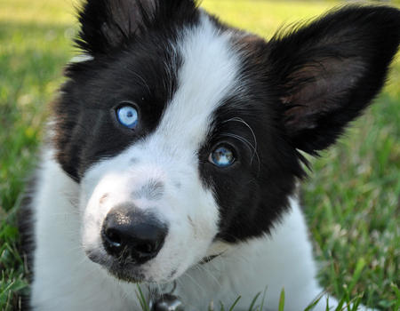 Dooghan the Border Collie Pictures 621484