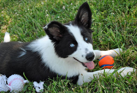 Dooghan the Border Collie Pictures 621483