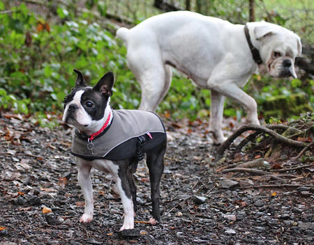 Doris the Boston Terrier Pictures 956155