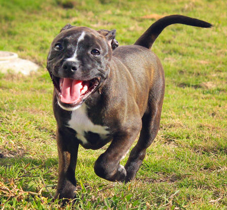 Doris the Staffordshire Bull Terrier Pictures 850021