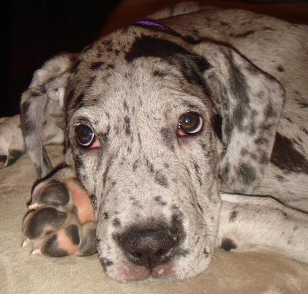 Dory the Great Dane Pictures 552881