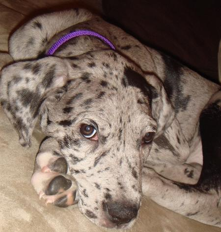 Dory the Great Dane Pictures 552883