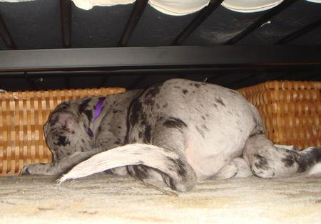 Dory the Great Dane Pictures 552885