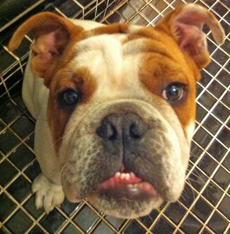 Doug the Bulldog Pictures 1032747