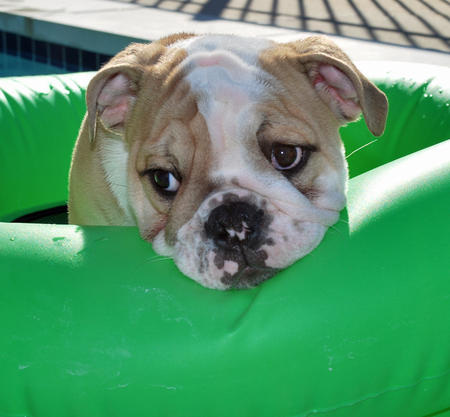 Doug the English Bulldog Pictures 640539