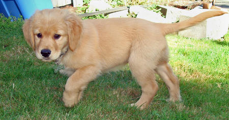 Doug the Golden Retriever Pictures 446023