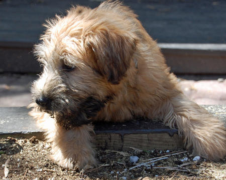 Dougal the Wheaten Terrier Pictures 582957