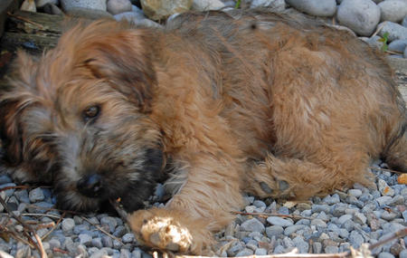 Dougal the Wheaten Terrier Pictures 582958