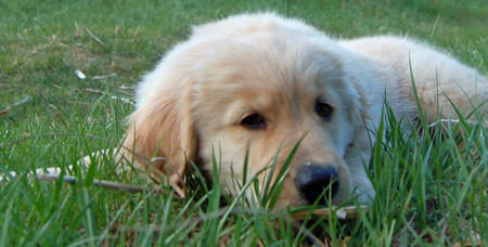 Dozer the Golden Retriever Pictures 637940