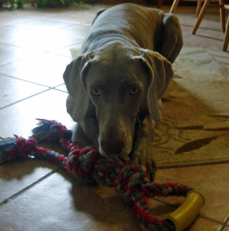 Duchess the Weimaraner Pictures 943700