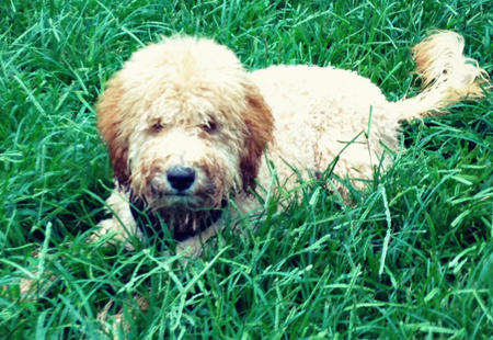 Duffron the Labradoodle Pictures 1007534