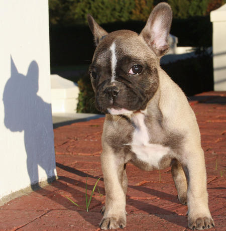 Duke the French Bulldog Pictures 596594