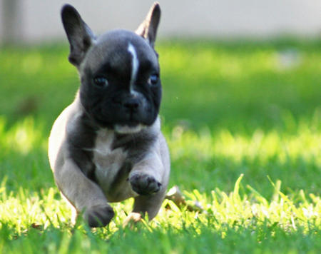 Duke the French Bulldog Pictures 596597