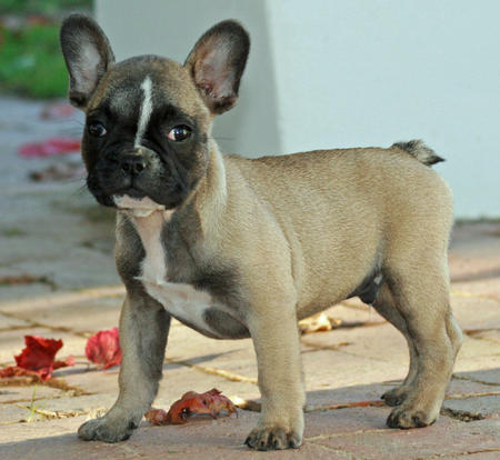 Duke the French Bulldog Pictures 596598