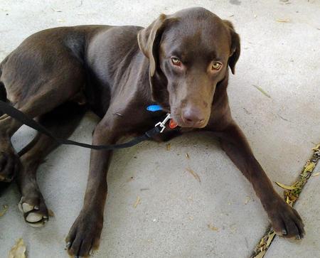 Duke the Labrador Retriever Pictures 930305