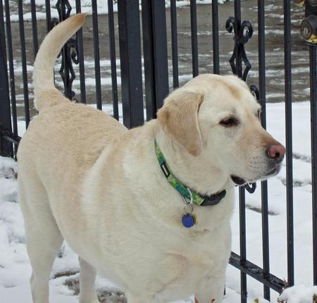 Duke the Labrador Retriever Pictures 930302