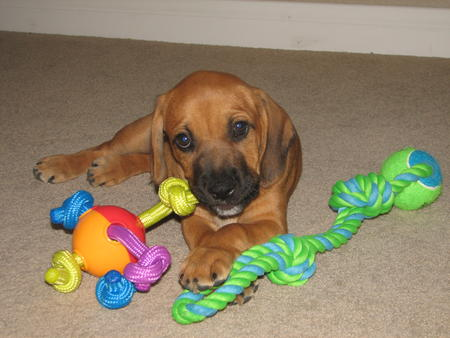 Boxer Bloodhound Mix Puppies Share this puppy