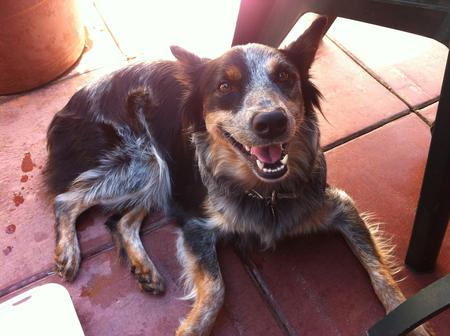 Dusty the Australian Cattle Dog Pictures 969802