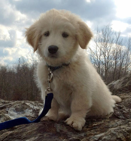 Dylan the Goldendoodle Pictures 959721
