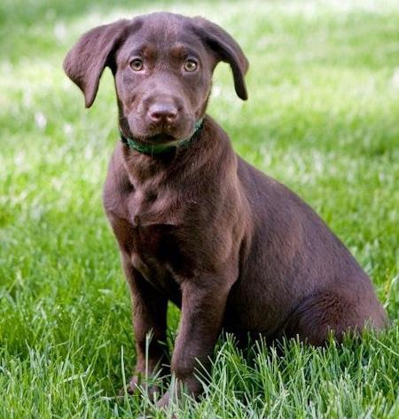 Dylan the Labrador Retriever Pictures 727080