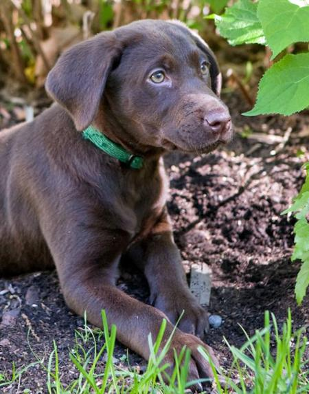 Dylan the Labrador Retriever Pictures 727082