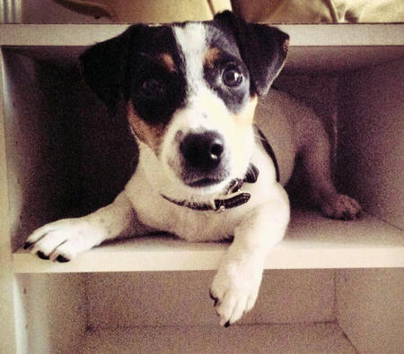 Eddie the Jack Russell Terrier Pictures 945605