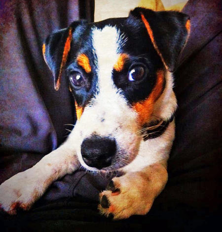 Eddie the Jack Russell Terrier Pictures 945606