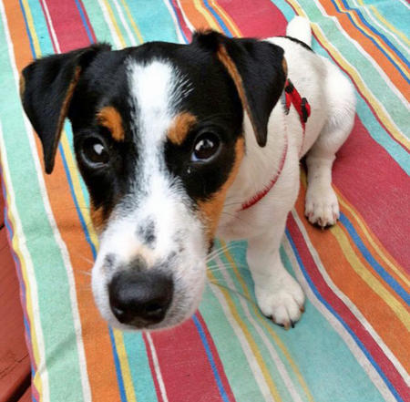 Eddie the Jack Russell Terrier Pictures 945608