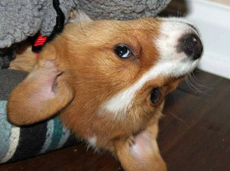 Ein the Pembroke Welsh Corgi Pictures 1059573