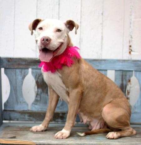 Elizabeth the Adoptable Pit Bull Mix Pictures 1021135