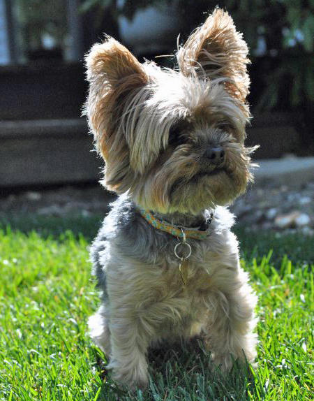 Ella the Yorkshire Terrier Pictures 685124