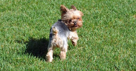 Ella the Yorkshire Terrier Pictures 1051370