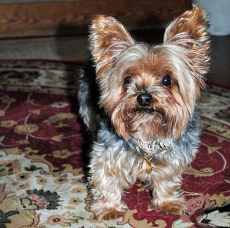 Ella the Yorkshire Terrier Pictures 685126
