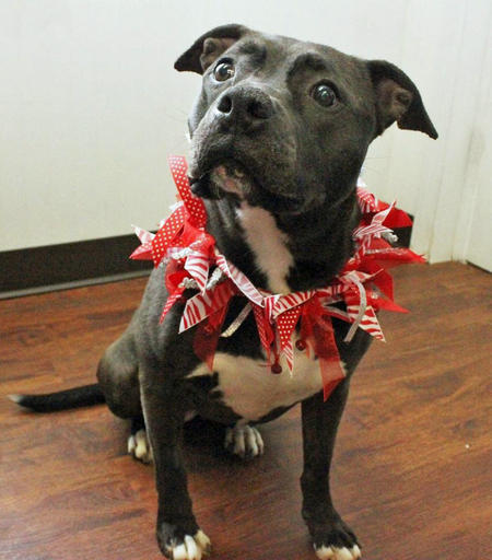 Elle the Adoptable Staffordshire Terrier Mix Pictures 1020780