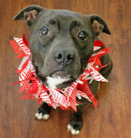 Elle the Adoptable Staffordshire Terrier Mix Pictures 1020782