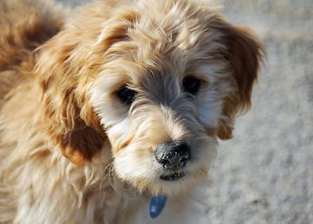 Ellie the Goldendoodle Pictures 1049730