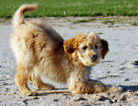 Ellie the Goldendoodle Pictures 1049731