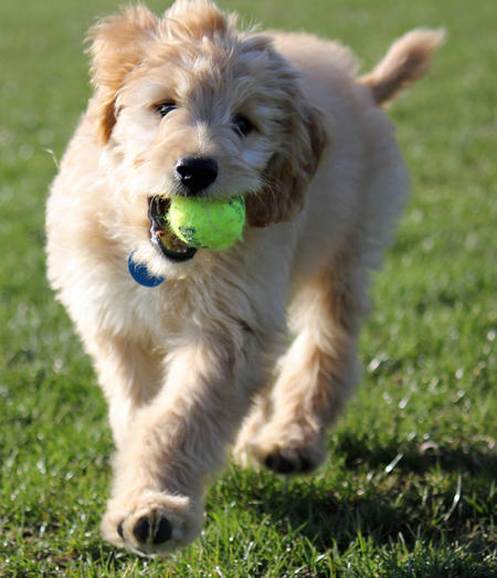 Ellie the Goldendoodle Pictures 1049732